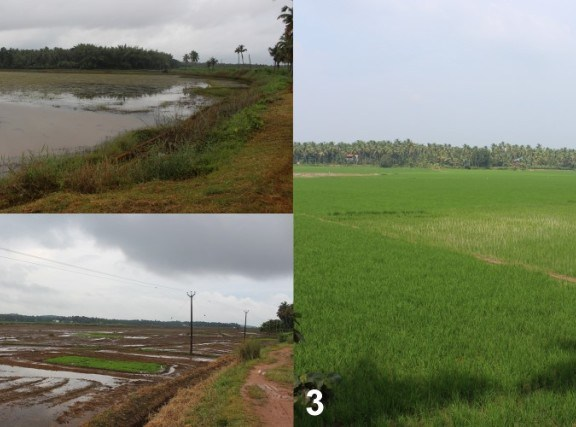 Rice Cultivation in Kole Wetlands of Kerala