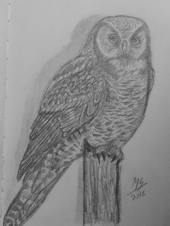 Northern Hawk Owl – Pencil Drawing by Mariam Shajahan