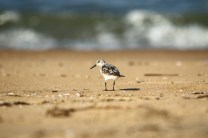 Sanderling © raveendran kc