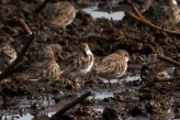 Little Stint © Praveen es