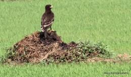 Greater Spotted Eagle © Manoj Karingamadathil