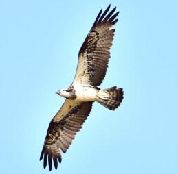 Osprey © mathew thekkethala