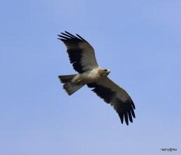 Booted Eagle © raphy kallettumkara