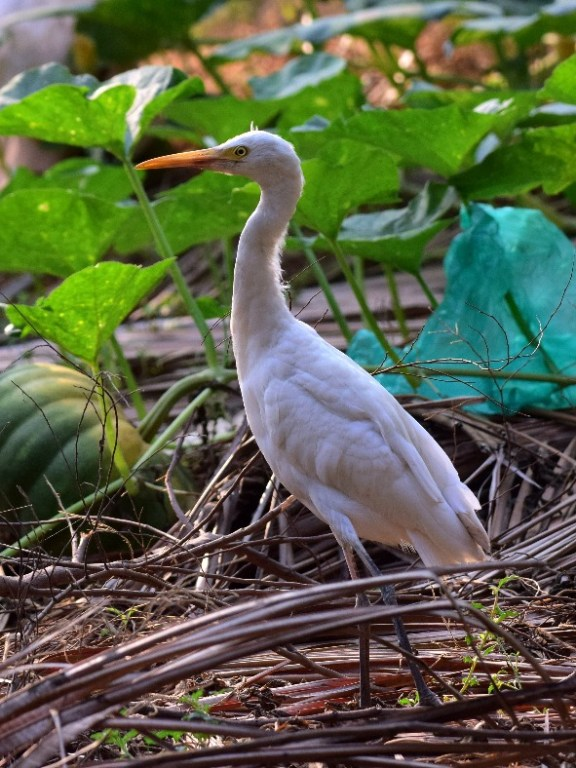 Cattle Egret Marancherry Kerala 10 March 2018
