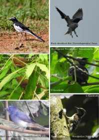 Birds of Thodupuzha [Vol 1, July 2018]-39