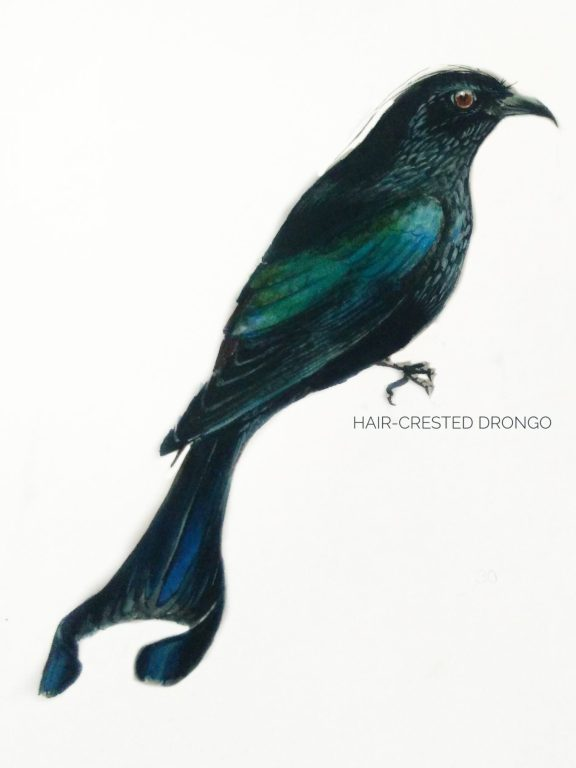#12- Hair-crested Drongo
