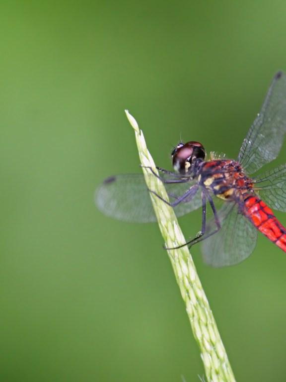 Dwarf Bloodtail (Lyriothemis acigastra)  കുള്ളന് വര്ണ്ണത്തുമ്പി