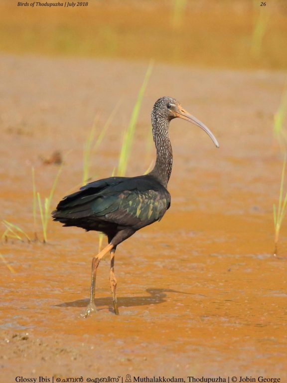 Birds of Thodupuzha – Checklist 2018
