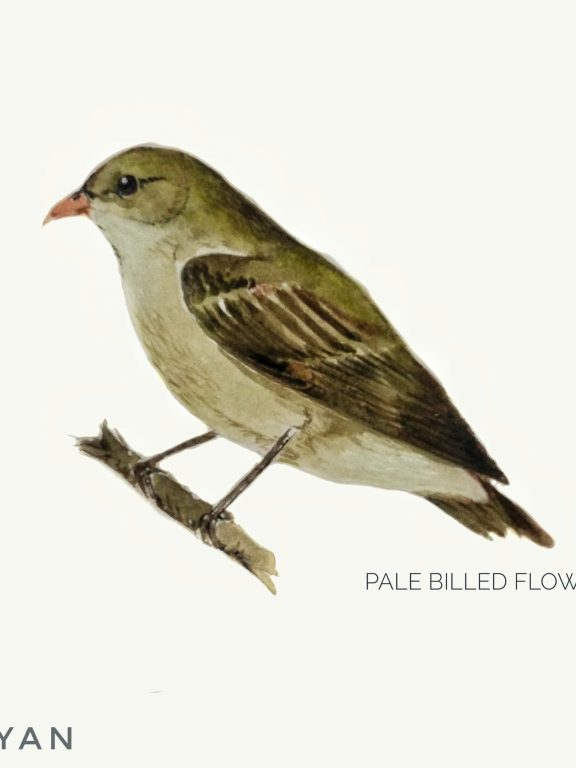 #14- Pale-billed flowerpecker