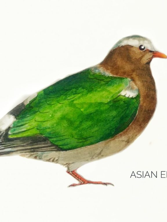 #17- Asian emerald dove