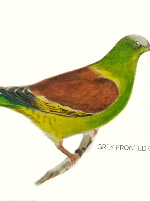 #16- Grey-fronted green pigeon