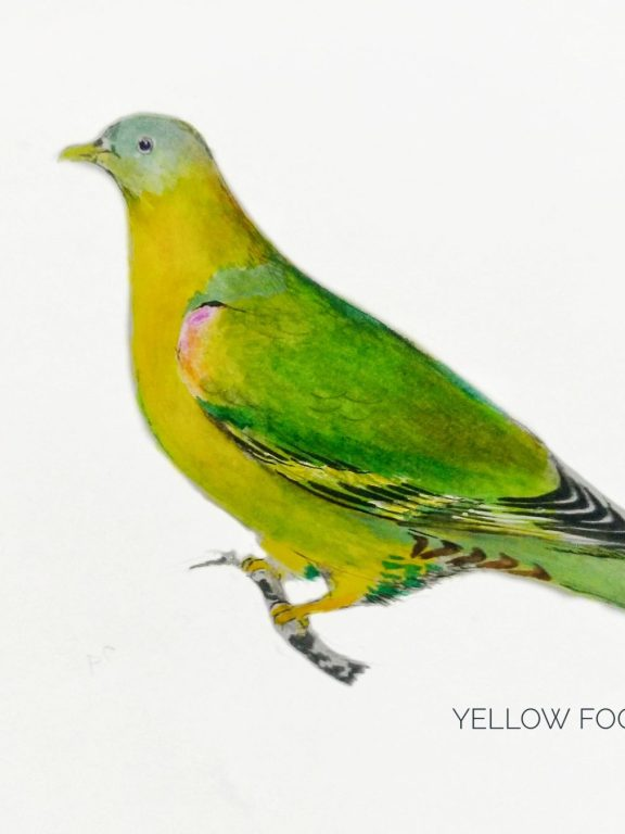 #18- Yellow-footed green pigeon