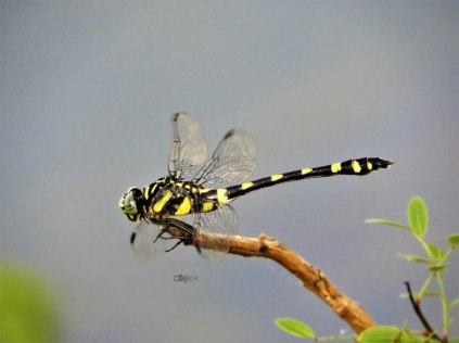 Ictinogomphus rapax – Common club tail (നാട്ടുകടുവ)