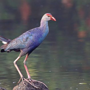 Grey headed swamphen Image - Mukundan Kizhakkemadham
