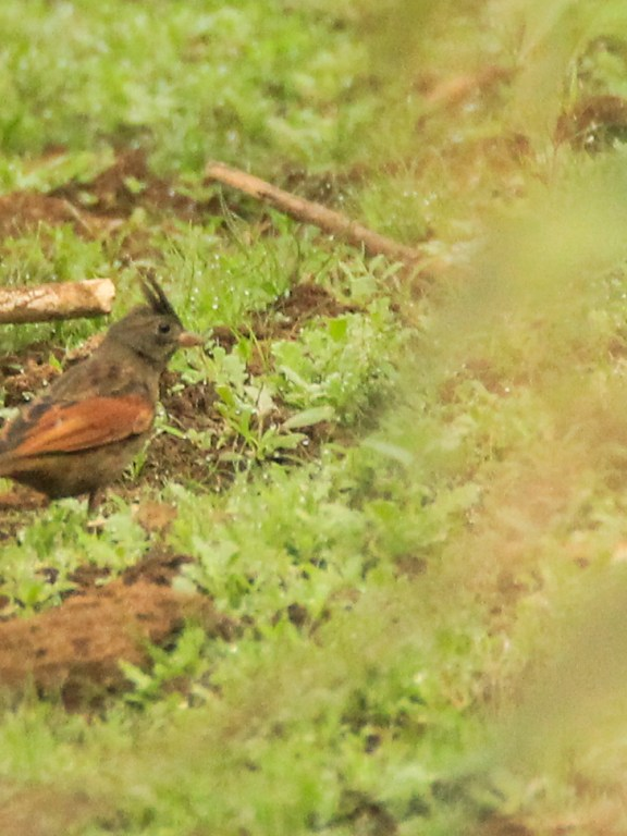 Crested bunting – 526th bird of Kerala
