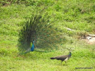Indian peafowl pair by Manoj K