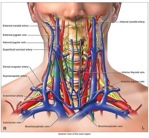Arteries of the Neck