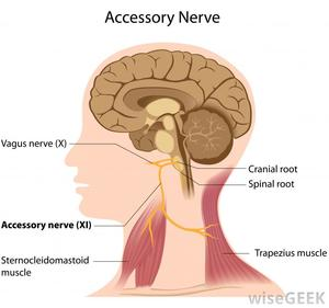 The Accessory Nerve