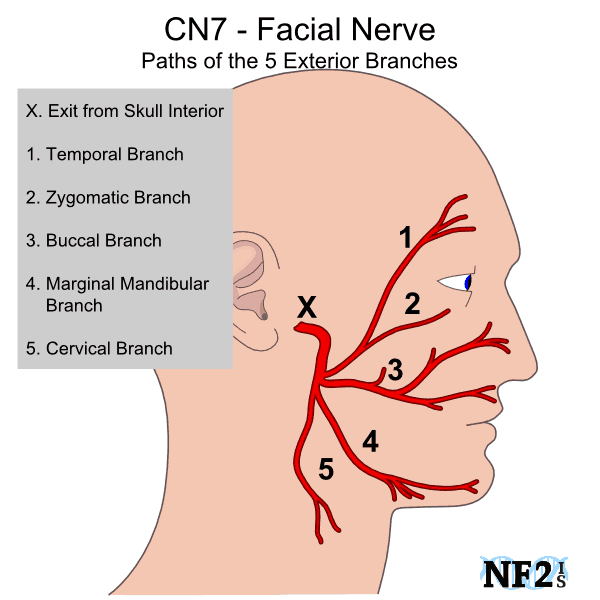 The Facial Nerves