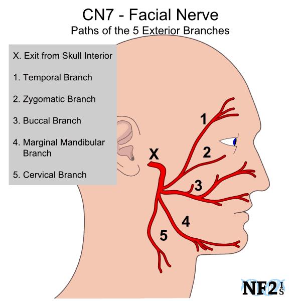 The Facial Nerves