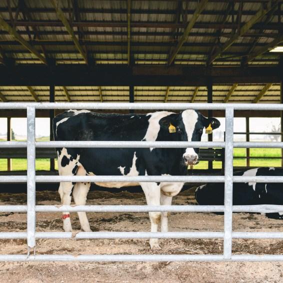 dairy-farm-8