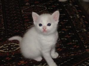 800px-White_kitten