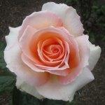 Rose named after city gardens blooms in awards
