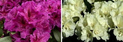 Click image to find Rhododendron nurseries