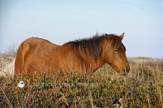 A wild horse pauses to ponder its' next move on Assateague.