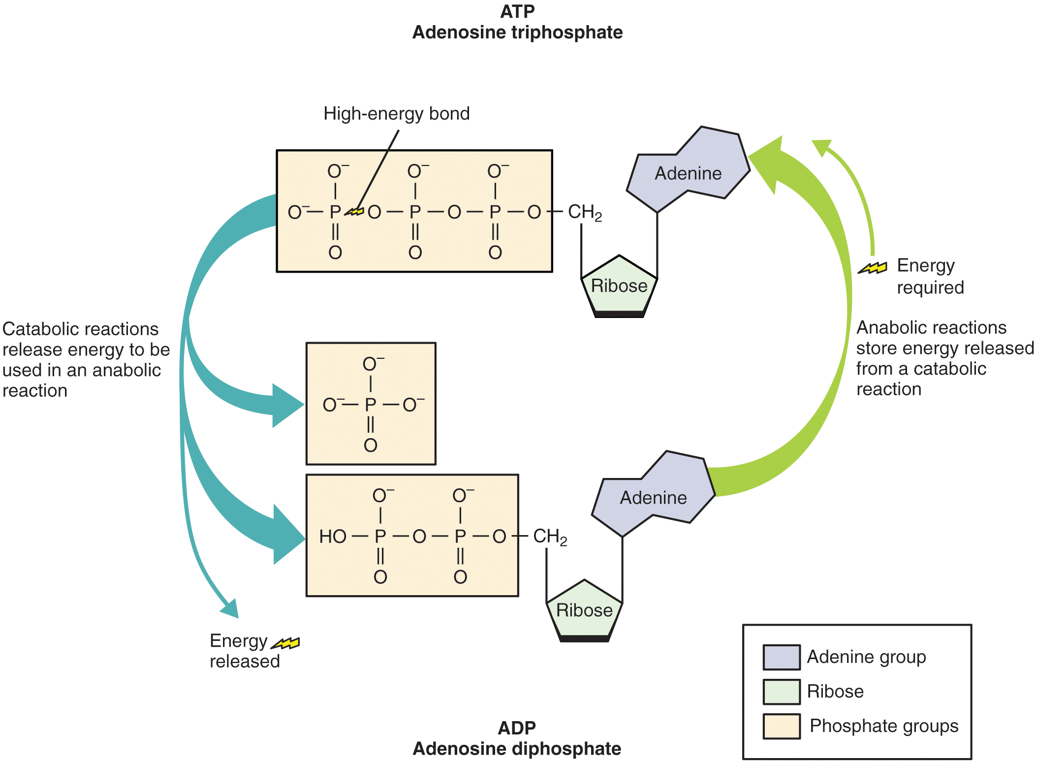 Adenosine Triphosphate Atp Definition And Synthesis