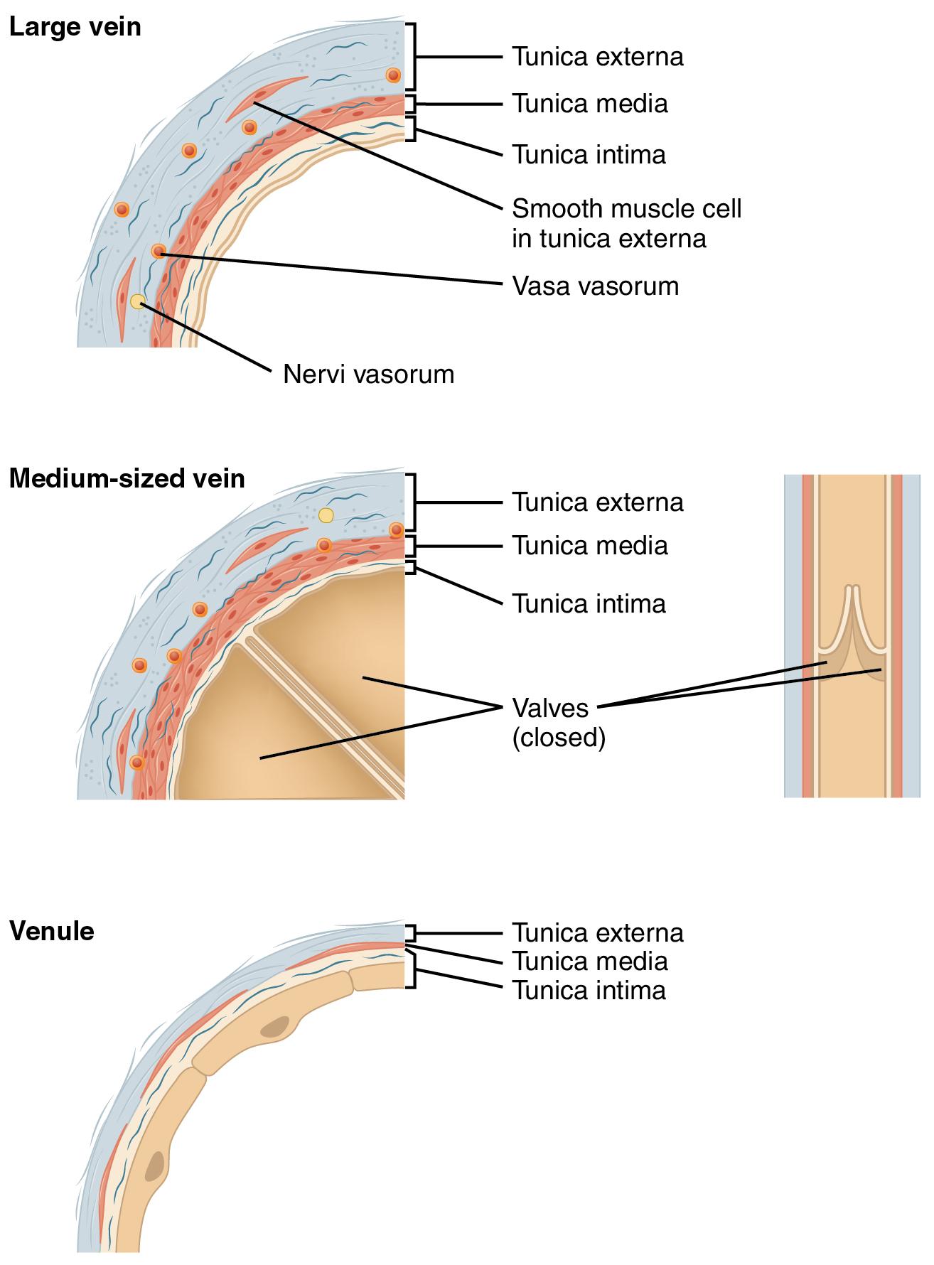 Blutkreislauf Des Menschen