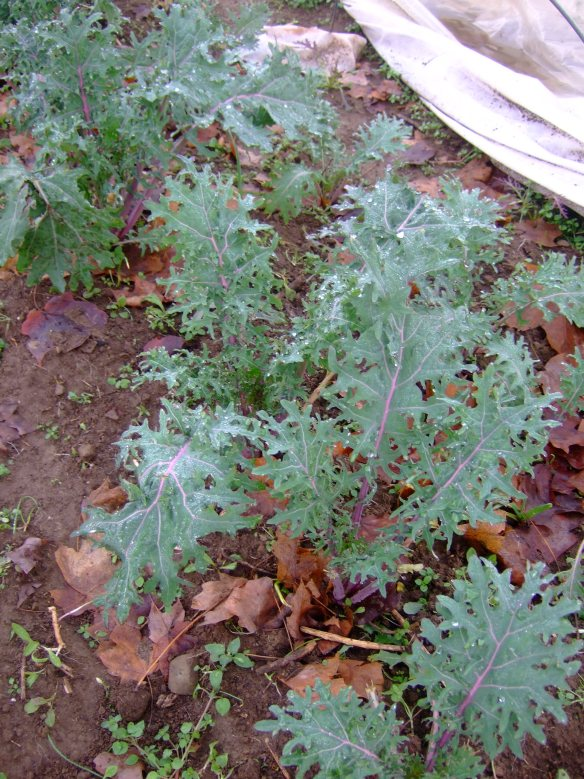 Russian Red Kale in cold frames, December 2012.