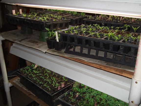 Our market garden seedlings do well under light.