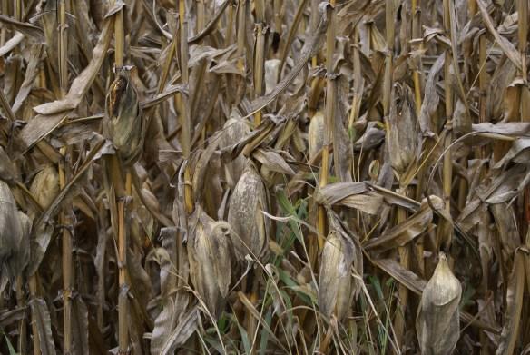 Field corn ready to harvest, Van Wert, Ohio.
