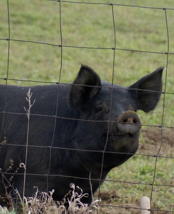 """""""Camera Hog"""", central Indiana."""
