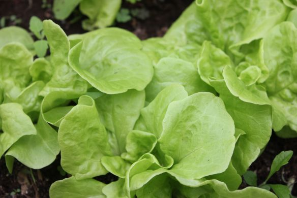 Three Heart Heirloom Lettuce Seeds