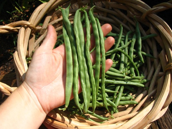 Our Lazy Housewife beans! We're eating some fresh, putting some up. Thanks, Lehman's!