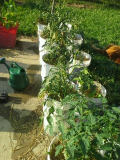 Tough Cherry Tomatoes survived well. They're in the front bucket.