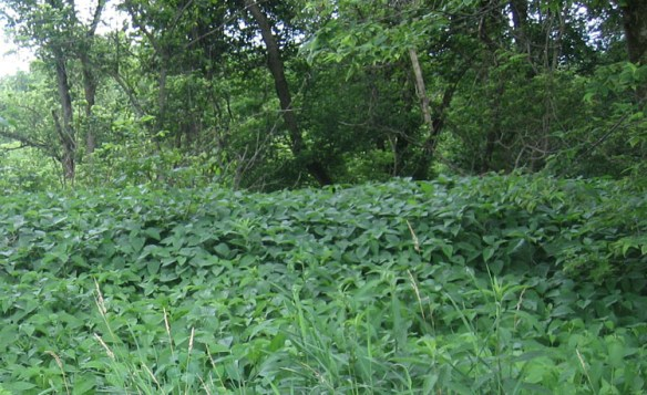 This is just a small portion of the huge nettle patch that I had to get through.
