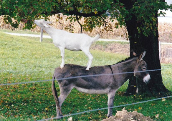 One of the author's smart goats hopped on the back of their donkey to get to the nice, green tree leaves.