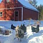 5 Tips to Keep Your Chickens Warm This Winter