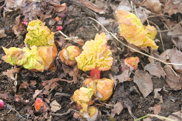 Rhubarb in the ground