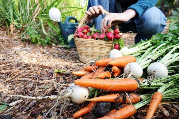 harvesting garden