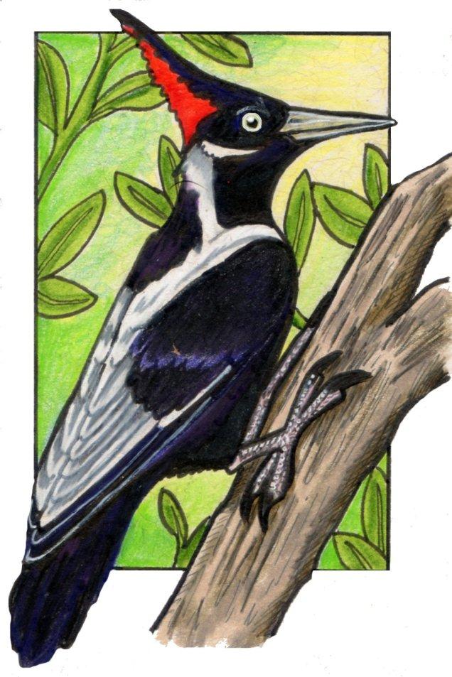 ivorybilledwoodpecker