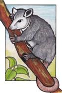 opossum2