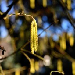 Hazel Tree