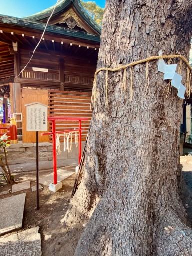 立石熊野神社 夫婦楠(拝殿向かって右側)
