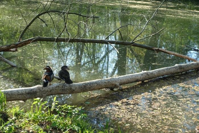 Mandarin Enten im Englischen Garten