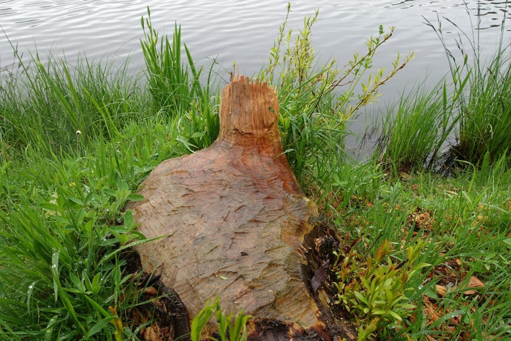 Biber fällt Baum