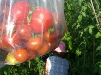 Tomato harvest from St James'